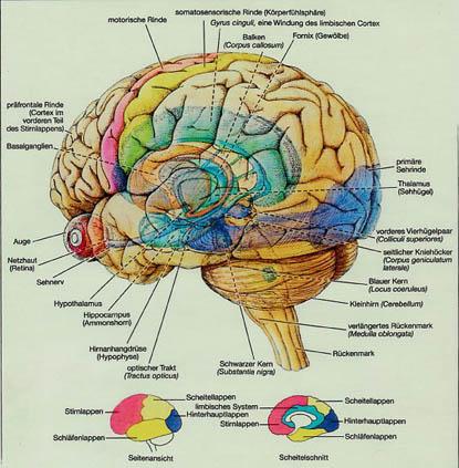 Gehirnregionen Und Ihre Funktionen